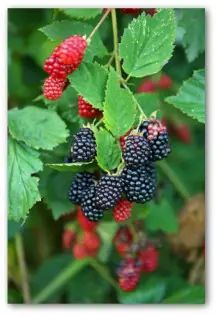Planting and fertilizing blackberries growing on the vine