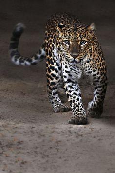 Servo leopard by Paco de la Luz <3