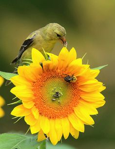 I would love to grow Sunflowers if only the squirrels would let me | Hello Mr. Bumblebee | Flickr - Photo Sharing!