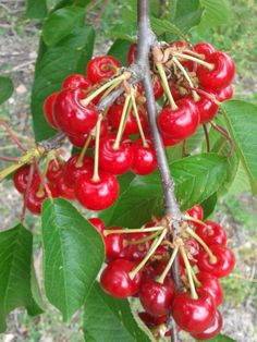 Cherries, Fruit, Blog, Rural House, Old Recipes, Elopements, Maraschino Cherries, The Fruit, Blogging