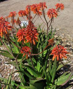 Aloe rudikoppe 'Little Gem'