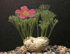 Eriospermum paradoxum | Succulents and Findings ...