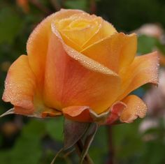 Amber Flush Roses/Hybrid Tea at the Wairere Nursery Online Shop