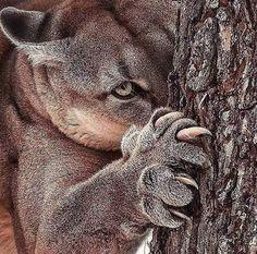 Puma a acec