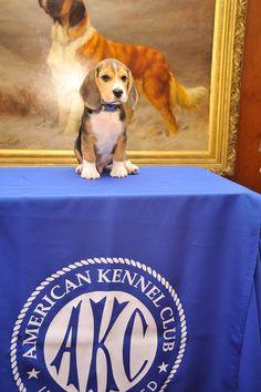 beagle:)