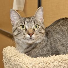 Sophie is an adoptable Tabby Cat in Nashville, TN.  Im the mama cat of four beautiful kittens. Like any proud parent, I think all my kittens were perfect! I was glad to see them all go to great homes,...