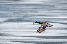 A male mallard skims the ice looking for open water in which to land. Photo taken in the spring of 2014 on Eagle Lake in North Western Ontario, Canada. Eagle Lake, North Western, Mallard, Open Water, The World's Greatest, Ontario, Fine Art America, Westerns, Wildlife