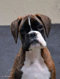Some of the things we all like about the Upbeat Boxer Puppies The Brindle Boxer Dog Boxer Dogs Facts, Dog Facts, Boxer And Baby, Boxer Love, I Love Dogs, Cute Dogs, Boxer Dog Puppy, Brindle Boxer, Training Your Dog
