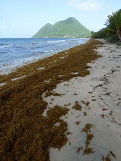 Point sargasses au Diamant et à Rivière-Pilote anse Figuier, en Martinique, le 16/06/18 Hier, nous espérions bénéficier d'un WE en belles options plagesques et... c'est de nouveau en mode Cata de chez Cata...