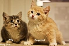 Lucy & Dagwood is an adoptable Tabby - Orange Cat in Prescott, AZ. Lucy & Dagwood's Contact Info *** Questionnaire *** If you would like to meet Lucy & Dagwood, please download the questionnaire, fill...