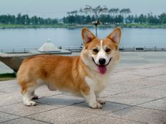 I'm in love with those little legs!!!  something I can relate to :):):)  Adult Corgie