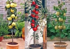 For the White Rabbit's Garden - miniature fruit trees. Miniature Fruit Trees, Dwarf Fruit Trees, Growing Fruit Trees, Fruit Garden, Edible Garden, Vegetable Garden, Garden Plants, Edible Plants, Fruit Trees In Containers