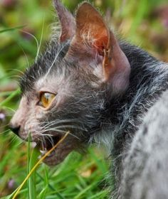 Meet the Werewolf Cat or Lykoi - Description from pinterest.com. I searched for this on bing.com/images