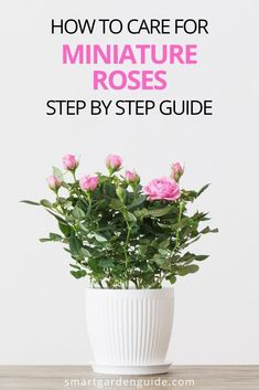 Complete guide to growing miniature roses indoors. Mini roses aren't the easiest houseplant to keep looking great, so you'll need to follow these care tips to keep your thriving and blooming. I cover some really important tips to keep you mini roses blooming month after month, and looking great. Indoor Flowering Plants, Blooming Plants, Outdoor Plants, Air Plants, Rose Step By Step, Smart Garden, Mini Roses, Garden Guide, Low Lights