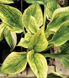 Cotton Candy Hosta ~ 40cm tall ~ Spacing 80cm ~ The leaves emerge heavily misted with green and white and slowly change to all green in mid-summer.  The plant forms a medium sized mound of glittering foliage in the spring.  Lavender flowers appear in the summer.  Plant in light sun to full shade.