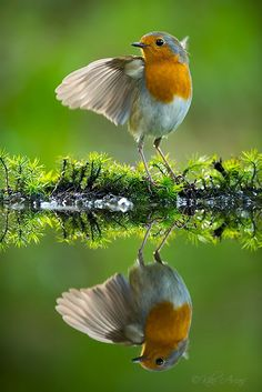 Robin (Erithacus rubecula):