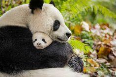 Watch this new Panda Clip from Born in China. BORN IN CHINA is rated G and opens in theatres everywhere April Panda Hug, Baby Panda Bears, Panda Love, Cute Panda, Panda Funny, Baby Pandas, Polar Bears, Born In China Movie, Cute Baby Animals