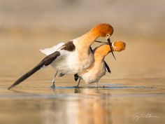 American Avocets, mating ritual. Canon 5D III, 500 f/4L, 1.4x. 1/1000s, f/8, ISO400. Relevancy to follow.