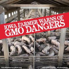 Iowa Farmer Warns Of GMO Dangers. The animals know the difference between real food, and GMOs. How do we know, unless it is labeled?