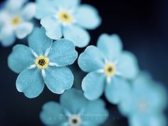 forget me not, myosotis My Flower, Pretty Flowers, Teal Flowers, Tropical Flowers, Beautiful Flowers Wallpapers, Forget Me Not, Flower Wallpaper, Hd Wallpaper, Flower Backgrounds