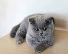 fluffy kittens I've got one of these.he's called Brillo cause he looks like a Brillo pad! Puppies And Kitties, Cute Cats And Kittens, I Love Cats, Kittens Cutest, Blue Cats, Grey Cats, Grey Kitten, Cute Baby Animals, Animals And Pets
