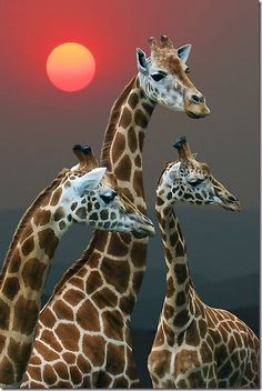 There are believed to be nine subspecies of giraffe. Today, four of these subspecies - Nubian, West African, Rothschild, and Rhodesian - are Endangered.