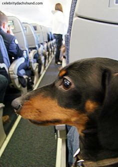 Doxie on a Plane