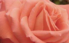 Peach Rose Wallpaper