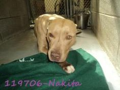 Nakita is an adoptable Pit Bull Terrier Dog in Beckley, WV.  ...
