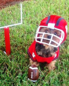 We'd bet Charlie makes it to the Super Bowl this year. #pets #dogs #HalloweenCostumes #petcostumes #Halloween Cute Dog Halloween Costumes, Pet Costumes For Dogs, Cute Costumes, Dog Football Costume, Poodle Puppies, Cute Puppies, Cute Dogs, Dogs And Puppies, Baby Animals