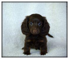chocolate mini dachshund