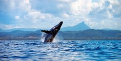 whales at Byron Bay, Wollumbin in background