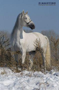 Красавец из Сибири