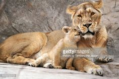 The newest, cutest baby animals from the world's accredited zoos and aquariums. Cute baby animal pictures and videos by date, species, and institution. Beautiful Cats, Animals Beautiful, Cute Baby Animals, Funny Animals, Wild Animals, Lioness And Cubs, Lion Love, Lion Cub, Young Animal