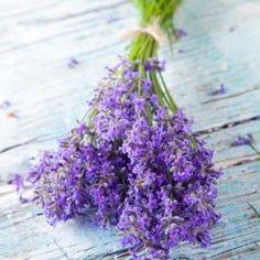 Lavender Seeds - Munstead (to plant by pole) Lavender Seeds, Lavender Garden, Purple Flowers, Dried Flowers, How To Propagate Lavender, Herb Seeds, Hardy Perennials, Lavandula Angustifolia, Essential Oils