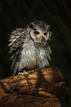 due-come-noi: Mmmmmh 😒 Owl Bird, Pet Birds, Owl Photos, Owl Always Love You, Young Animal, Beautiful Owl, Horned Owl, Mundo Animal, Wild Birds