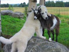 funny animals, goats, coffee break, judg, dogs