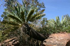 Encephalartos Eugene Maraisii Waterberg Cycad / Broodboom Bergpalm 4 m SA no Rare Plants, Home And Garden, Botany