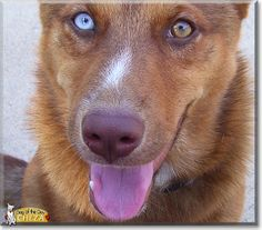 Read Cheza's story the Australian Cattle Dog, German Shepherd from Waxahachie, Texas and see her photos at Dog of the Day http://DogoftheDay.com/archive/2014/March/19.html .