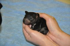 Here's a baby Tasmanian devil to brighten your day!