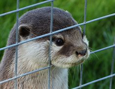Prepare For Otters: Photo Otters Cute, Baby Otters, Cute Baby Animals, Animals And Pets, Funny Animals, Wild Animals, Otter Love, Mundo Animal, Cute Creatures