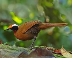 The Rail-Babbler or Malaysian Rail-Babbler (Eupetes macrocerus) is a strange, rail-like, brown and pied inhabitant of the floor of primary forest in the Malay Peninsula and Sumatra (the nominate subspecies macrocerus), as well as Borneo.  placed in a monotypic family, Eupetidae. This is one of only three bird families restricted to the Oriental zoogeographical region.