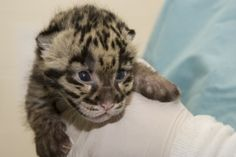 A female clouded leopard at the Smithsonian Conservation Biology Institute in Front Royal gave birth to a litter of two cubs on March 28, 2011.