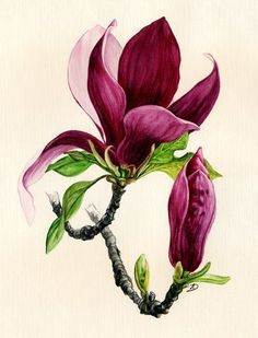 Learn To Draw A Realistic Rose - Drawing On Demand Botanical Illustration, Botanical Art, Watercolor Illustration, Flor Magnolia, Magnolia Flower, Art Sketches, Art Drawings, Flower Drawings, Horse Drawings