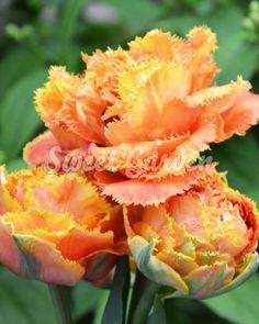 Lalele Sensual Touch   Sweet Garden Touch, Rose, Sweet, Garden, Flowers, Plant, Candy, Pink, Garten