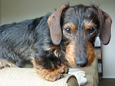 Wire-Haired Mini Doxie. Hunter