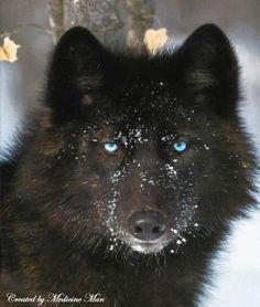 Loup noir aux yeux bleus dans la neige...                                                                                                                                                                                 Plus