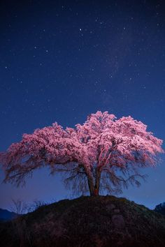 [What a lovely image, with the cherry tree in full bloom, and Venus and the stars in the evening sky above.] Cherry Tree in Gunma, Japan 発地の枝垂れ桜 Gunma, Sakura Cherry Blossom, Cherry Blossoms In Japan, Tree Photography, Blossom Trees, Amazing Nature, Beautiful Landscapes, Beautiful World, Bonsai