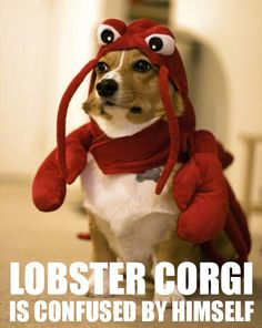 LOBSTER CORGI
