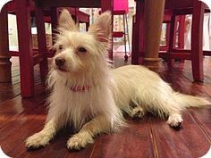 Media, PA - The Rescue Express, Westie, West Highland White Terrier/Yorkie, Yorkshire Terrier Mix. Meet SOPHIE WHITE, a dog for adoption. http://www.adoptapet.com/pet/11261761-media-pennsylvania-westie-west-highland-white-terrier-mix